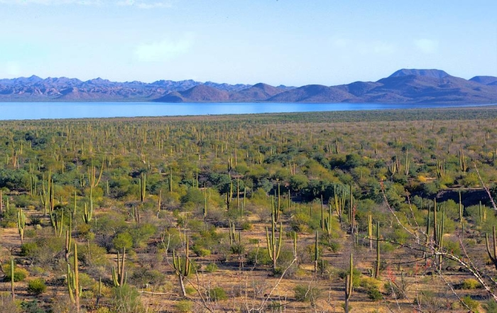 Flying genes, bats and the organ pipe cactus