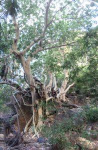 Foto 6: Michael Darin explora un gran  árbol de tecalama (Ficus petiolaris palmeri) en la Sierra El Aguaje.